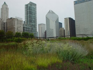 Native grass growing in Lurie garden with skyscrapers in the background